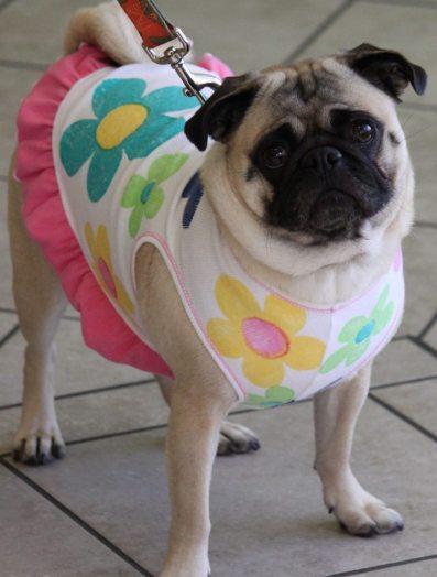 Pug dress-up day