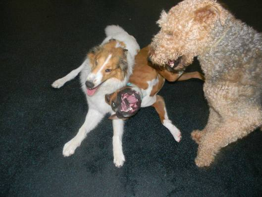 Riggins Boxer & Briar Airedale Terrier