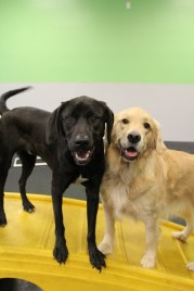 Archie Paoletti the Lab mix and Isabelle the Golden Retriever