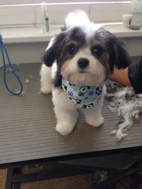 Dog boarding spa daycare wilmington dogtopia elsmere cali monaghan the havapoo looking adorable after her grooming appointment solutioingenieria Image collections