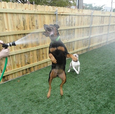 Dog boarding spa daycare wilmington dogtopia elsmere zena the rottweiler and herbie the bulldog solutioingenieria Image collections