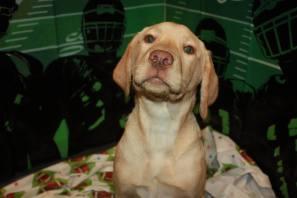 Sergio the Yellow Lab puppy