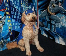 Brady the Goldendoodle dressed up like Batman