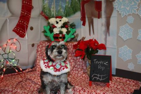 Tootsie Pop the Terrier Mix in holiday spirits