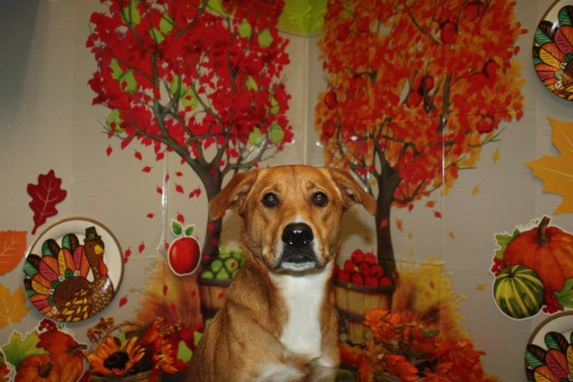 Rhyder the Shepherd Mix on Thanksgiving