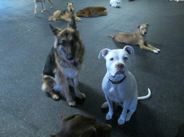 Pitbull and German Shepherd puppy