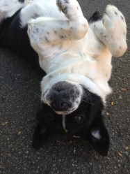Sierra, also known as Moo Moo, is hoping her antics will get her a belly rub!