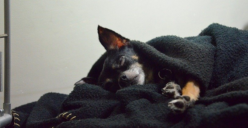 dog sleeping under the covers
