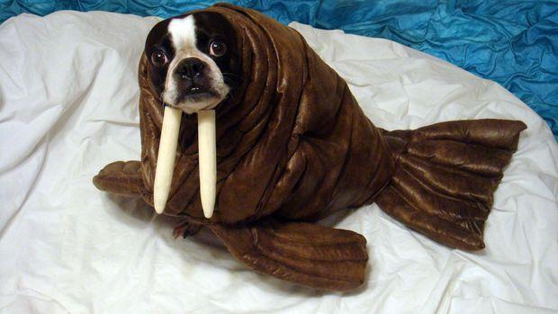 dog walrus costume