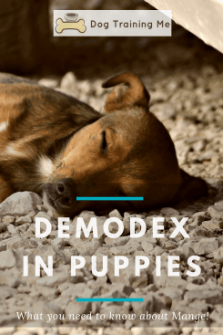 demodex in puppies