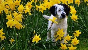 mixed breeds healthier than purebreds