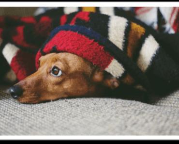 dog sedative