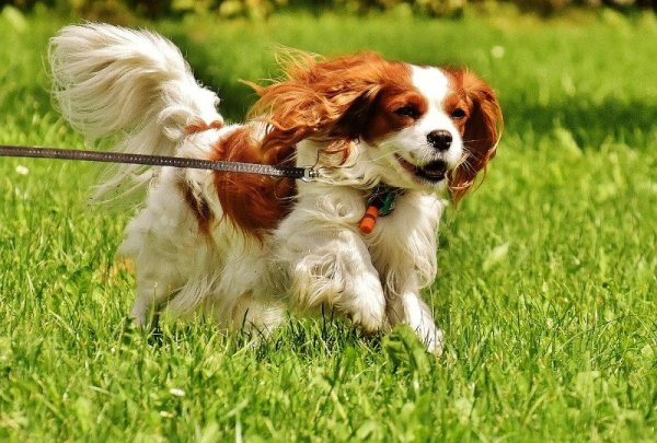 best dog breed cavalier king charles spaniel