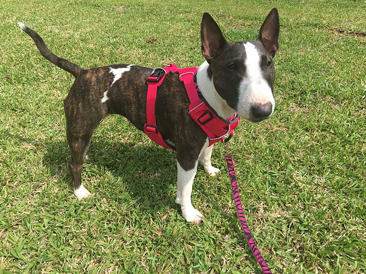 From A Dog Trainer Most Comfortable Dog Harness