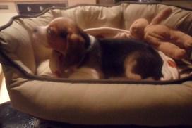 Beagle Milo Oliver