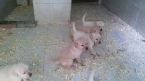 Cuccioli di labrador in vendita da Dog Village Ferrera di Varese