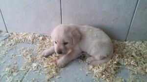 Cucciolo di labrador in vendita da Dog Village Ferrera di Varese foto1