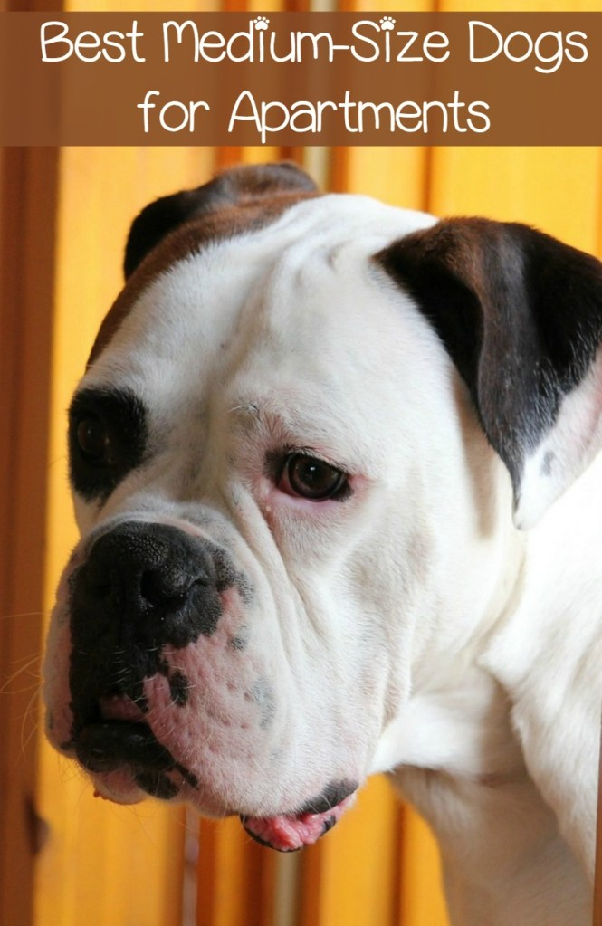 5 Best Medium Size Dogs For Apartments