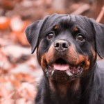 Top 10 Best Dog Beds For Rottweilers Http Www Dogvills Com