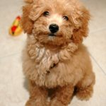 Lovely Poodle Dog Photo And Wallpaper Beautiful Lovely Poodle Dog Pictures