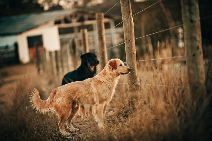 Best In-Ground Dog Fence For Large Dogs