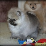 Past Pomeranian Pups