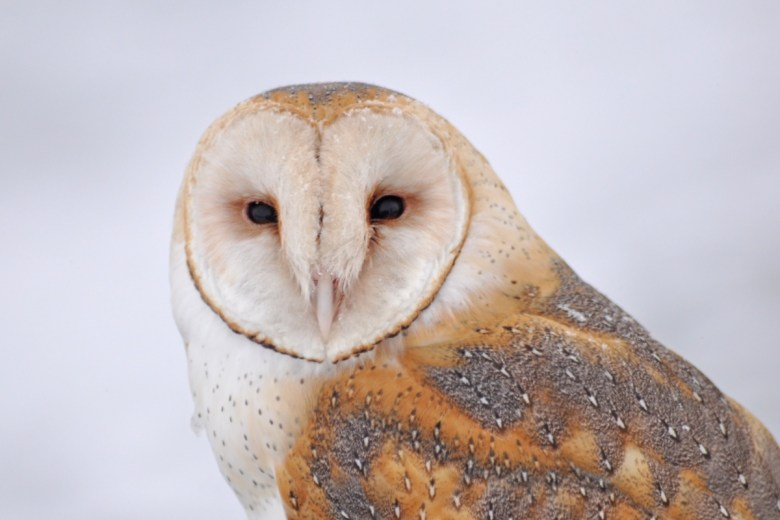 A Barn owl's heart shaped face stares back at the camera.
