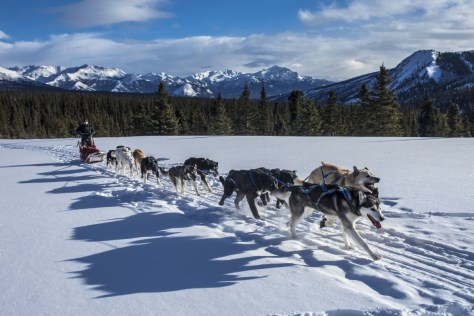 A dozen large dogs pull a sled across a snowy plain with a forest and mountains in the background.