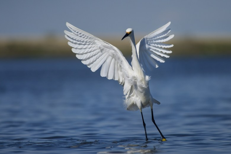 A large white bird lands on the water.