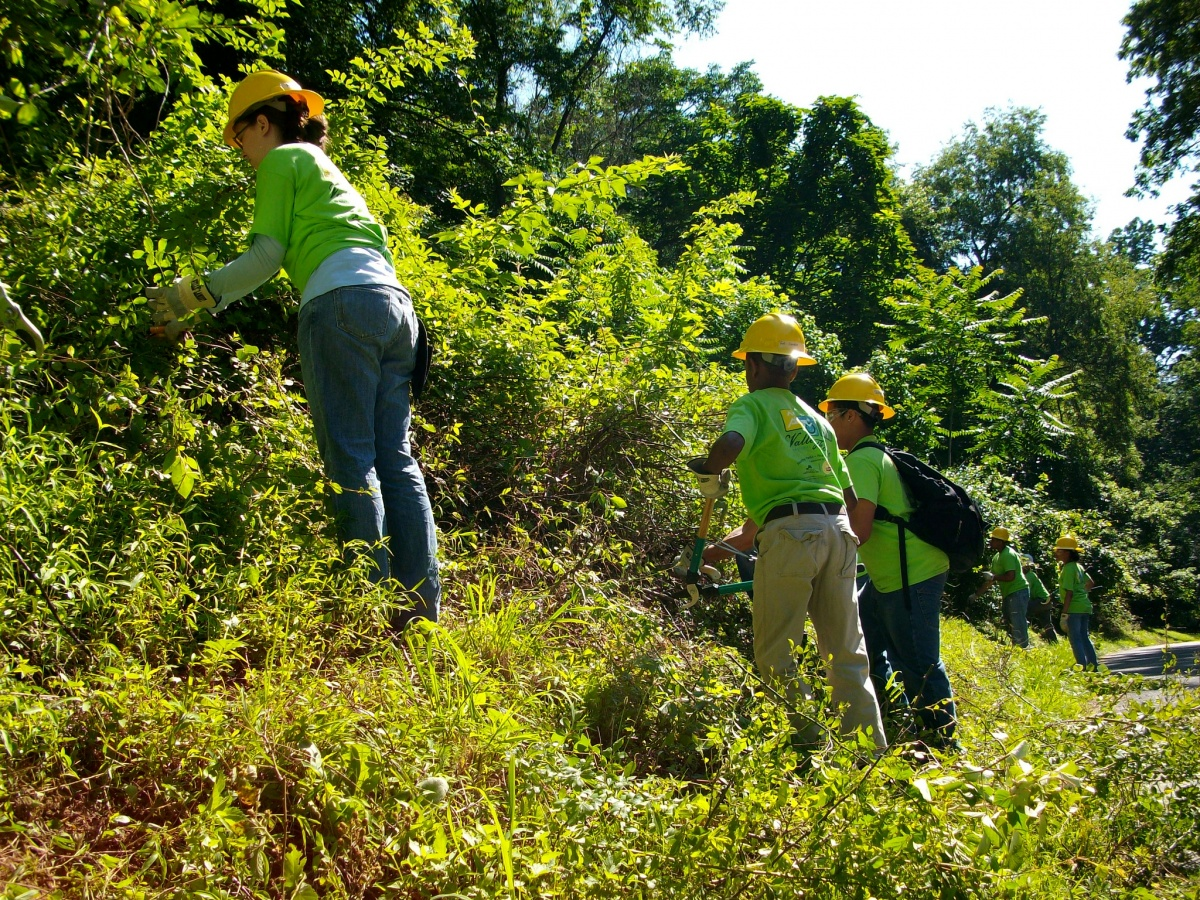 Volunteers in hard hats clip out invasive weeds from green trees.
