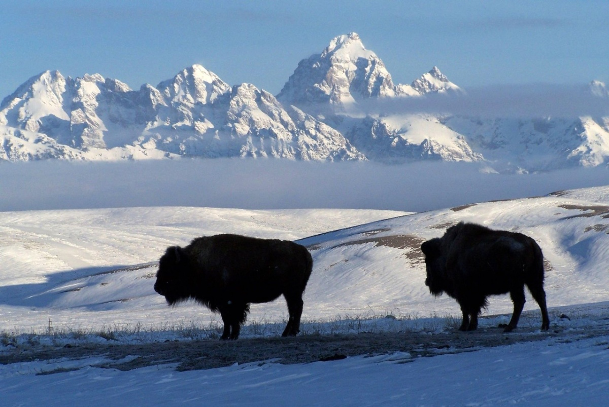 Bison standing in the snow.