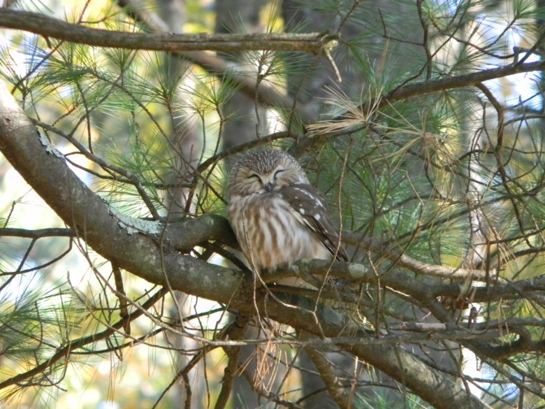 A northern saw-whet owl sits on a branch with its eyes shut.