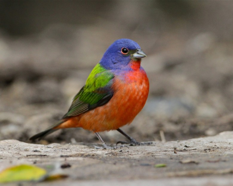 A brightly colored bird called a painted bunting stands on the forest floor.
