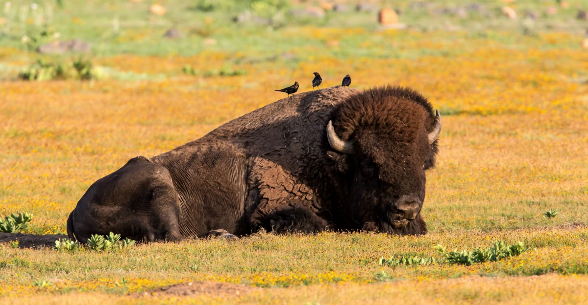 A large bison laying on the grass with three small birds standing on its back.