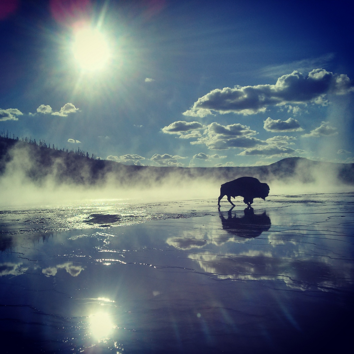 A bison walking by a steaming hot spring in bright sunlight.