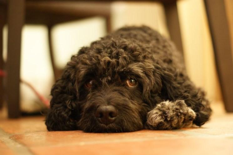 Doktor Tartufos treuer Trüffelhund Ricciolo ist müde