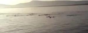 Irish dolphin