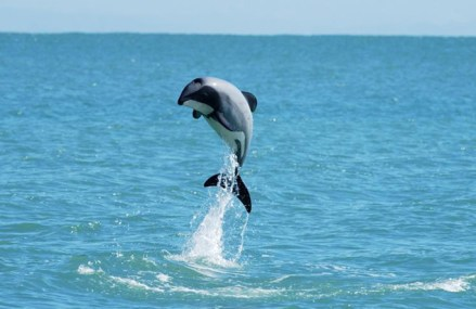 NZ government opens Maui's dolphin area for oil drilling
