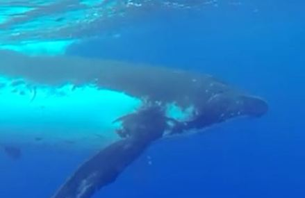 Swimming with whales video