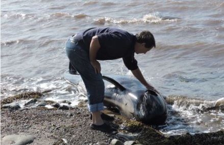 6 pilot whales dead after beaching in Cape Breton; 10 others saved