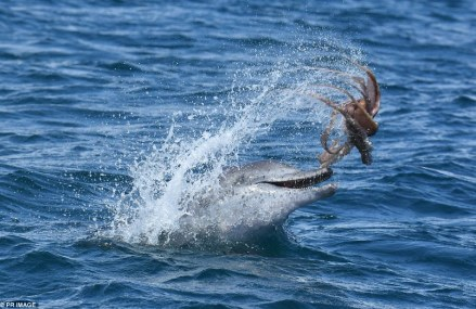Dolphin plays with an octopus