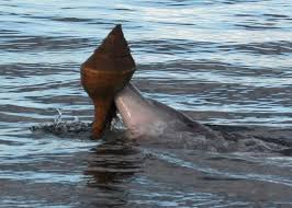Clever Dolphins Use Shells to Catch Fish   WIRED