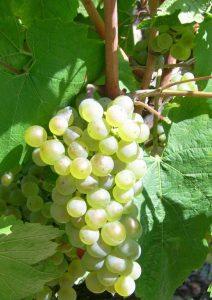 Raisin correspondant à Anjou blanc
