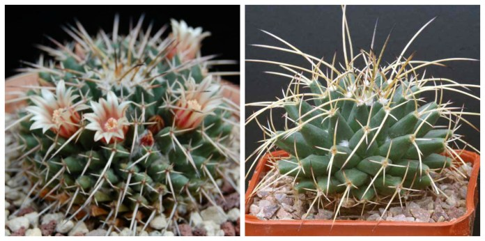bradavicasti kaktus