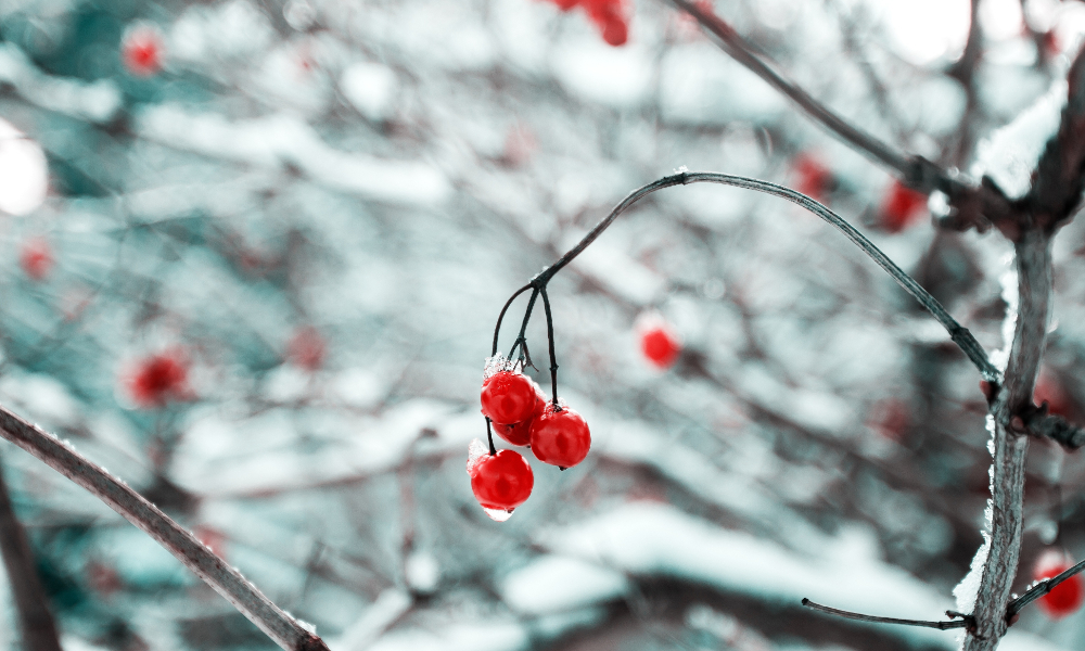 Drooping frozen cherries