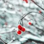 Drooping frozen cherries