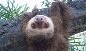 Two toed sloth (CC BY-SA 3.0 by a Wikimedia user)