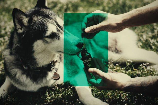Descubrimos los beneficios del CBD para mascotas con Peludos CBD