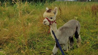 Brielle - Hiking with Alpacas