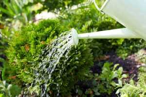Podlewanie roślin ogrodowych zimą